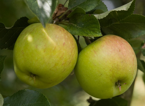 english-apples COCX